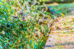 茂林雙年賞蝶